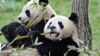 竹animal-panda1
