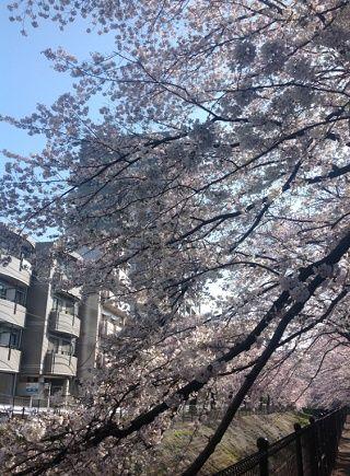多摩センターの桜