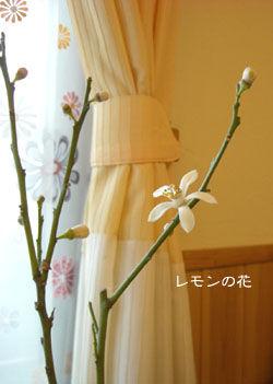 レモンの花20080213