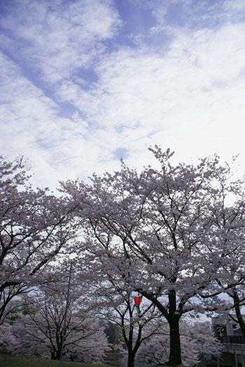 sakura2015_03.jpg