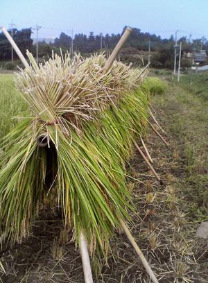 収穫2009_0913_01.jpg