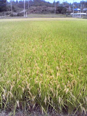 収穫2009_0913_03.jpg
