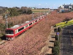 三浦 河津桜