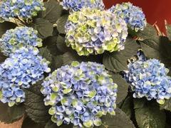 �紫陽花1