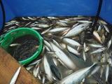 三崎定置網漁3