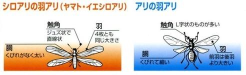 白アリの見分け方