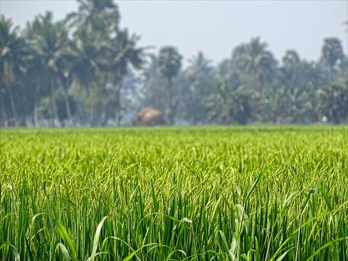 rice-grass-741546_960_720_R