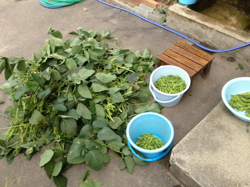 枝豆が大豊作で困る… 枝豆のコロッケがやっぱり美味しくて困る… [無断転載禁止]©2ch.net