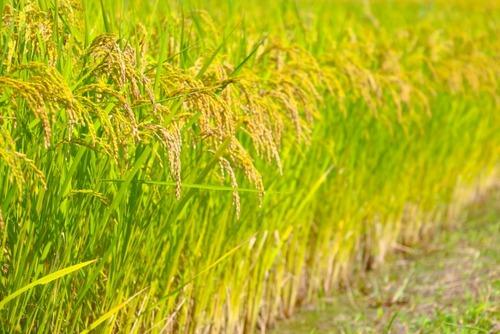 麻生太郎副総裁「昔は北海道の米は不味くて仕方なかったけど、温暖化のお陰で美味しくなった」