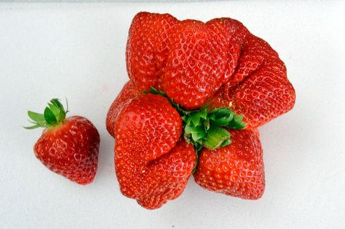 250グラムのイチゴ「あまおう」がギネスに認定 通常の10倍以上の重さ