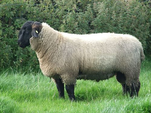 1280px-7_month_old_Suffolk_Ram_Lamb_R
