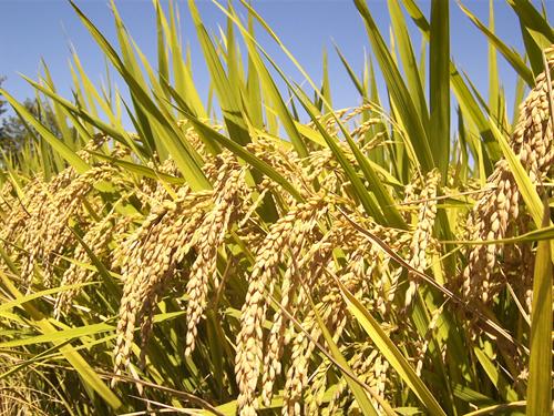 日本が米の不作の時に、タイが送ってくれた米をまずいと廃棄したというのは本当ですか?