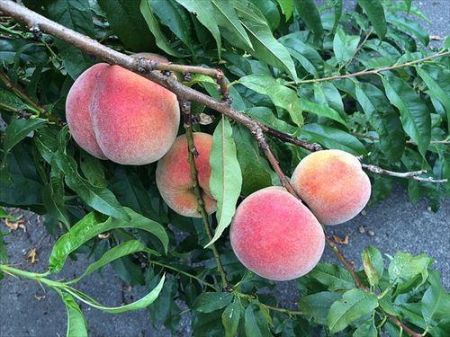 もしかして桃って果物界最強の一角なのかな?