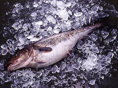 青森でマダラが21年ぶりの豊漁 「タラキクうめえ」 「タヅだろ」 「ダダミだろ」