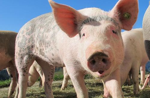 ブタはチンパンジーやイルカ並みに高い知能…食肉用動物としての扱いを再考する必要がある