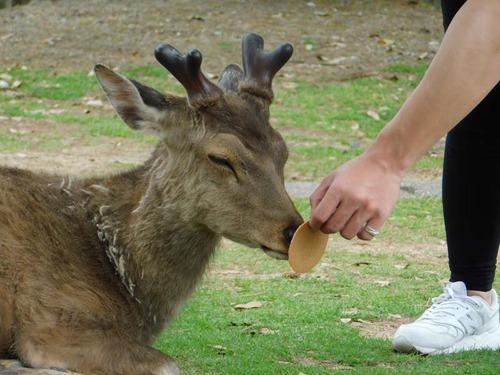 【悲報】鹿さん、せんべいに無反応