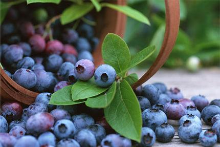 近所のガキ、ワイの家のブルーベリーを根こそぎ食う
