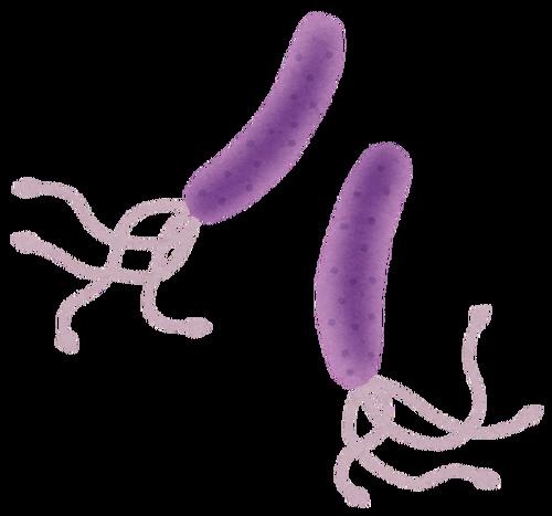 ピロリ菌の除去しないと胃がんになるらしい日本人の感染率は二人に一人