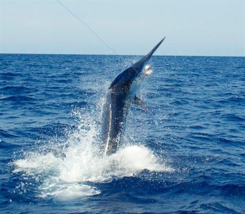豪州のカジキ釣りのルールが釣り上げず船まで寄せたら針をつけたままラインを切ってリリース