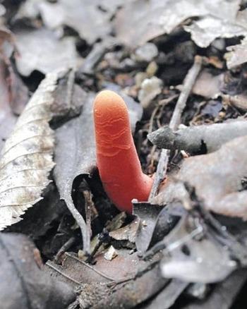 指じゃない、触れるとただれ食べると死ぬキノコ カエンタケ今が繁殖のピーク