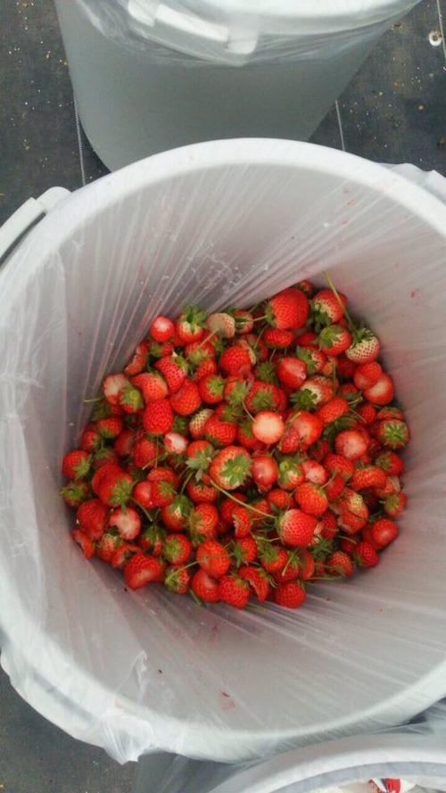 イチゴ農園が必死の訴え「まだ食べられるのに捨てられて居ます!食べ放題出来なくなります!」