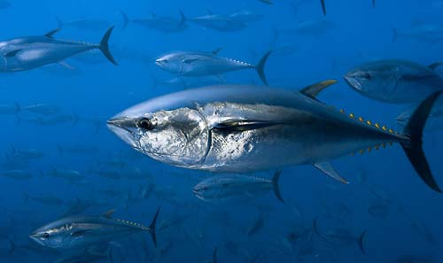 090716tuna-Brian-J-Skerry- National-Geographic-Stock-WWF