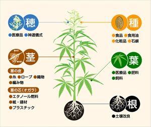 【北海道】産業用大麻、苗3000本植え付け
