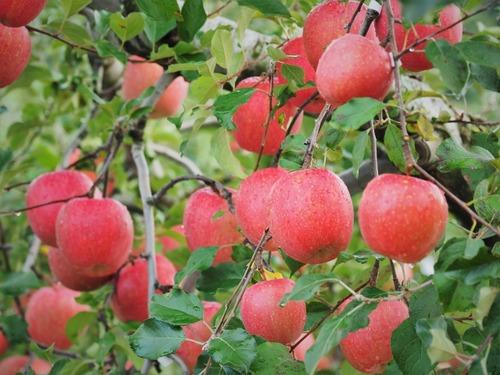 【悲報】青森の元りんご農家さん、りんご600個を盗み逮捕
