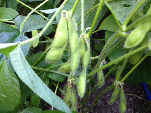 枝豆収穫していくぞ 興味ある?