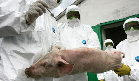 日本 豚流行性下痢で約4万頭の豚が死ぬ