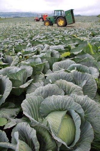 キャベツ大豊作で価格が下落 「採れ過ぎ。これでは箱代にもならん」と農家は悲鳴