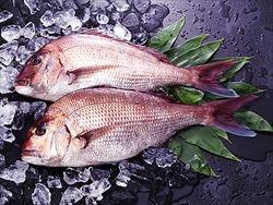 天然マダイが山陰や北陸近海で豊漁、お買い得