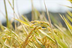 TPPで米国米入ってきたら米農家どうなんの?