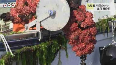 ホヤの季節がやってきた 岩手県大船渡市のホヤ、出荷最盛期