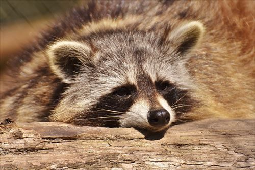 raccoon-2186614_1280_R
