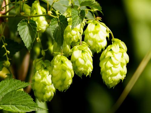 【朗報】ビールのホップにガンを抑制する効果が! おまえら好きなだけ飲め!!