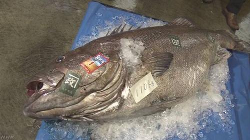 110キロの巨大深海魚 「オオクチイシナギ」 鳥取沖で網に 体長1.7m 刺身だと200人前 「刺身にするか鍋にするか考えたい」