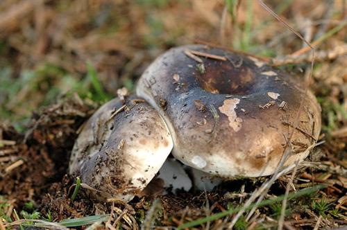 食用のクロハツに似た毒キノコ「ニセクロハツ」と勘違いか 自分で採ったキノコを食べた75歳の男性が意識不明の重体