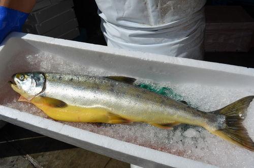 岩手で水揚げの黄色いサケ、黄疸かも 「サケがサケを飲み過ぎて肝臓を悪くしたか…」