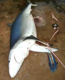 太平洋のサメがピンチ フカヒレ目当ての乱獲で