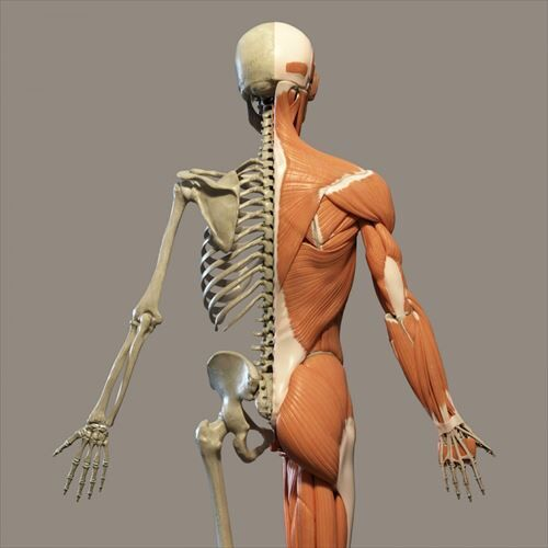 human-anatomy-1517257408wSc_R