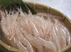 富山湾に春…シロエビ漁解禁、次々と水揚げ
