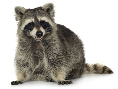 hh-us-lc-animals-raccoon-facts-1