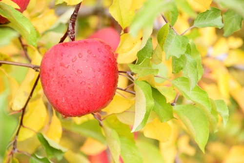北海道、増毛でリンゴの収穫が始まる