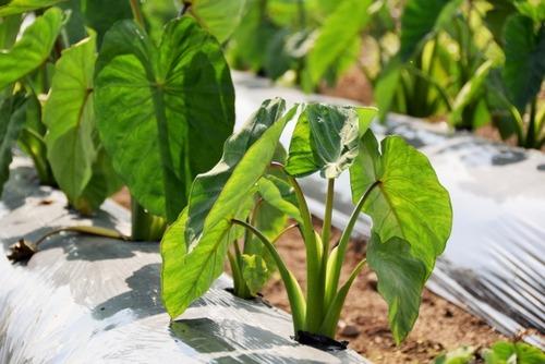 葉がサトイモに似ている「クワズイモ」 味噌汁に入れて味見をしたら激痛で救急搬送