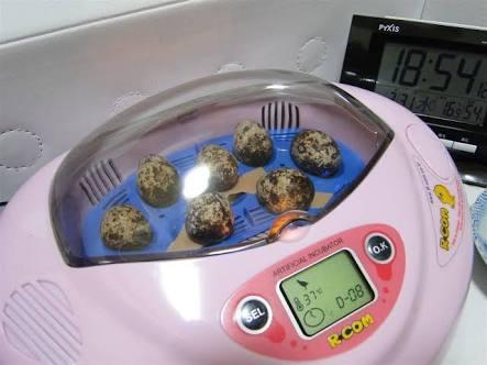 【悲報】スーパーのウズラの卵を孵化させるのが流行