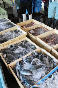 【富山】キジハタとメジナ、氷見漁港で台風一過のち大漁…「日ごろは市場に数匹ずつしか並ばない。刺し身も塩焼きもうまいよ」
