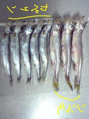 シシャモが不漁!過去最高レベルの不漁だけどスーパーや居酒屋の偽シシャモには影響なし