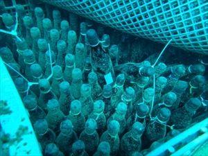 沖に瓶ごと半年間・・・「海中熟成」の日本酒引き揚げられる