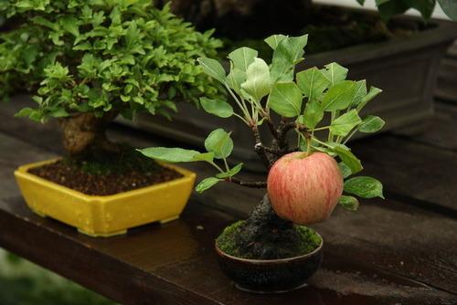 【画像】リンゴの木の盆栽でリンゴの果実を1個実らせることに成功